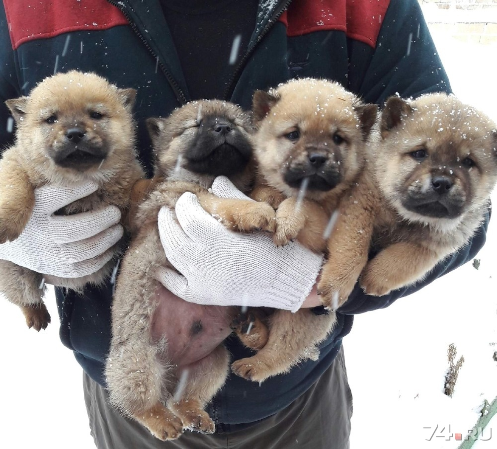 Фото маленьких чау-чау щенков