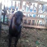 козел на племя, Челябинск