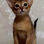 Абиссинские котята, Челябинск