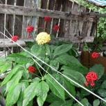 Женьшень натуральный семена, Челябинск
