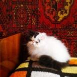 Персидский котёнок, Челябинск