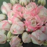 Цветы: Бальзамины, Пеларгонии, Плющелистные, Челябинск