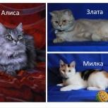 Кошки. Много красивых роскошных ласковых хвостов, Челябинск