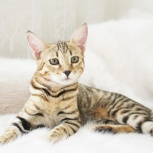 Котята Чаузи до 18 кг, Челябинск
