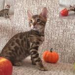 Бенгальский котик для души, Челябинск