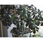 Растение денежное дерево, Челябинск