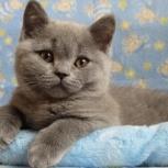 Клубные котята британской породы, Челябинск