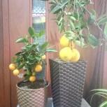 Лимон с плодами, Челябинск