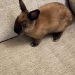 Карликовый кролик, Челябинск