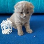 продам шотландских котят, Челябинск