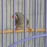 Продам зебрового амадина(самка), Челябинск