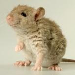 Крысы  кудрявые рекс, Челябинск