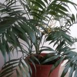 Хамедорея chamaedorea бамбуковая пальма, Челябинск