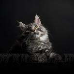 Котик Мейн-кун, Челябинск