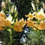 Цветы садовые, кустарник: пионы, хоста, лилии, вишня китайская, др., Челябинск