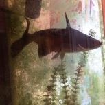 продам рыб. аквариумные. длина см 30-35. 2 штуки, Челябинск