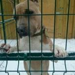 Питбуль собака, Челябинск