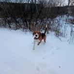 Бигль собака, Челябинск