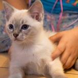 Котёнок Ариадна тайского окраса в добрые руки., Челябинск