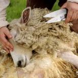 Ножницы для стрижки овец - 25 см., Челябинск