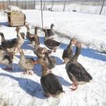 пародам семьи гусей, Челябинск