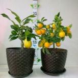 Цитрусовые - лимон и мандарин с плодами, Челябинск