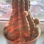 Продам кактус с горшком, Челябинск
