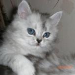 Котята серебристой шиншиллы, Челябинск