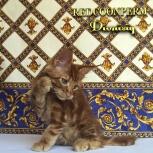 Котята мейн кун уникального красного окраса. Шоу класс., Челябинск