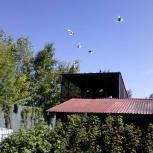 Продажа голубей, Челябинск