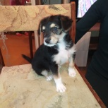 Ласковые щенки (1,5 месяца) отдам в добрые руки, Челябинск
