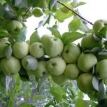 Яблоки белый налив, Челябинск