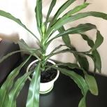 Продам пальму Драцена деремская(Dracaena deremens), Челябинск