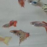 Продаю аквариумную рыбу ГУППИ, Челябинск