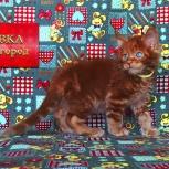 Котенок Мейн Кун красный солид. Шоу класс, Челябинск