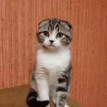 Шотландский вислоухий котёнок девочка., Челябинск