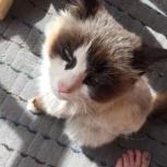 Котёнок Панда в добрые руки, Челябинск
