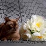 Вязка Бурманский кот, Челябинск