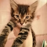 Котенок ( мальчик) в добрые руки, Челябинск