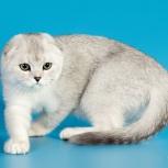 Котик скоттиш фолд, Челябинск