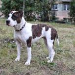 Амстафф собака, Челябинск