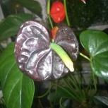 Антуриум шоколадный, Челябинск