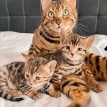 Шикарные бенгальские котята с документами, Челябинск