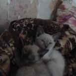 отдам в хорошую семью двух котят, Челябинск
