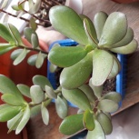 Комнатный цветок - Денежное дерево, Челябинск