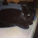 Котик от британской кошки, Челябинск