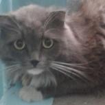 Пушистый серый котик с белыми лапками ищет дом., Челябинск