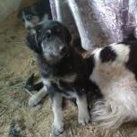 Щенки от крупной собаки, Челябинск