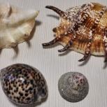 Морская раковина лямбис скорпион ципрея тигровая, Челябинск
