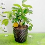 Лимон с плодами Челябинск, Челябинск